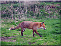 TQ3643 : Fox at British Wildlife Centre by Oast House Archive