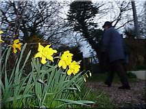SS9412 : Tiverton : Churchill Road Daffodils by Lewis Clarke