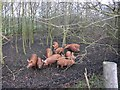SP2843 : Pigs in the woods, bridleway to Idlicote by David P Howard