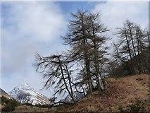 NN1548 : Winter larches by Alan Reid