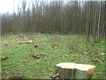 TQ9534 : Coppiced area of Whitewick Wood by David Anstiss