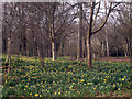TQ5134 : Daffodils in Jockeys Wood by Oast House Archive