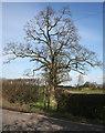 SJ6249 : Tree at field margin, near White Gate Farm by Espresso Addict