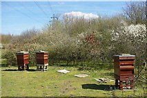 TQ5885 : Thames Chase Bees by Glyn Baker