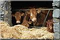 NY2312 : Cattle at Seathwaite Farm by Philip Halling