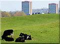 J3268 : Field and cattle near the Giant's Ring, Belfast (2) by Albert Bridge
