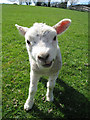 TQ4739 : Friendly Lamb at Hethe Place Farm by Oast House Archive