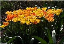 SX9050 : Tulips, Coleton Fishacre by Derek Harper
