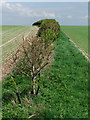 SE9917 : Hedge on Horkstow Wolds by David Wright