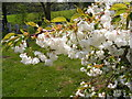 TM2665 : Cherry Tree in Blossom All Saints Churchyard, Saxtead by Adrian Cable