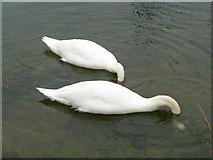SZ3394 : Mute Swans (Cygnus olor) by Christine Matthews