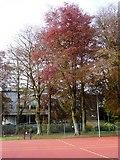 SX9164 : Beech trees, Upton Park by Tom Jolliffe