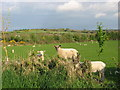O0762 : Lambs at Cloghan, Ardcath, Co. Meath by Kieran Campbell
