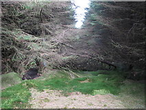 NY6176 : Blocked firebreak in the plantation on Black Rigg (3) by Mike Quinn