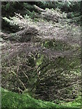 NY6176 : Fallen tree in the firebreak in the plantation on Black Rigg by Mike Quinn