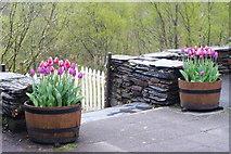 SH6441 : Floral Display at Tan-y-Bwlch, Gwynedd by Peter Trimming