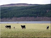 NN7958 : Cows and calves near Donlellan by Maigheach-gheal