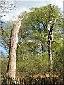 SJ8577 : Dead trees at Alderley Edge by Stephen Craven