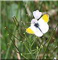 SO6509 : Male orange-tip butterfly, Anthocharis cardamines by Pauline E
