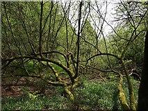 ST2214 : Wood above Otterford Lakes by Derek Harper