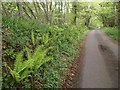 ST2213 : Ferns and bluebells by the lane near Royston Water by Derek Harper