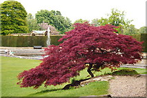 TQ4745 : Acer in Hever Castle Gardens, Kent by Peter Trimming