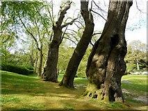 SX7962 : Trees, Dartington Hall Gardens by Tom Jolliffe