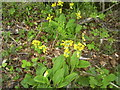N9647 : Cowslip, Co Meath by C O'Flanagan