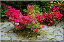 TQ4745 : Azaleas at Hever Castle, Kent by Peter Trimming