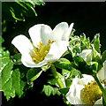 SO6424 : Strawberry flower; early morning by Jonathan Billinger