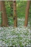 NZ5712 : Ramsons, Newton Wood by Mick Garratt