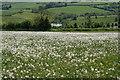 ST7372 : A field of dandelions by Guy Wareham