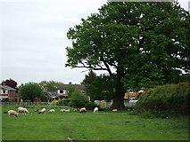 SP2871 : Grand old tree at the rear of John O'Gaunt Road by John Brightley