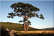 NZ5906 : Lone Tree, Bank Foot Lane by Paul Buckingham