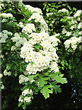 SO9096 : Hawthorn blossom by Roger  Kidd