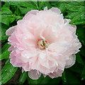 SO6424 : Flowers in the rain 2 by Jonathan Billinger