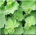 SO6424 : Flowers in the rain 4 by Jonathan Billinger