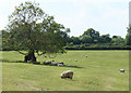 ST5957 : 2010 : Sheep and a very old oak tree by Maurice Pullin