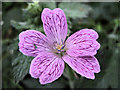 SJ7964 : Flower of the Pencilled Cranesbill (Geranium versicolor) by Jonathan Kington