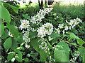 SJ7964 : Bird Cherry flowers by Jonathan Kington