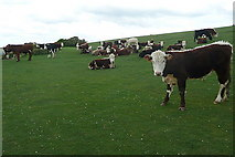 SZ6285 : Cattle on Culver Down by Graham Horn