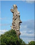 SO4227 : Dead Oak tree by Linda Billinger