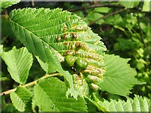 NS3977 : Fig galls on wych elm by Lairich Rig