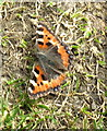 NR8297 : Small Tortoiseshell butterfly at Nether Largie by David Hawgood