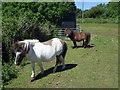 SM9529 : Little horses in Letterston by ceridwen
