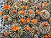 TQ1877 : Parodia comarapana cactus at Kew Gardens by David Hawgood
