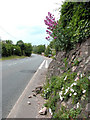 TL7199 : Flowers beside the A134 road through Whittington by Evelyn Simak