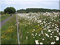 NZ2387 : Roadside Daisies by David Clark