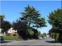 SP3177 : Cedar tree, Rochester Road by E Gammie