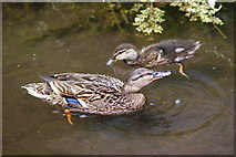 SU3521 : Ducks on Abbey Water, Romsey, Hampshire by Peter Trimming